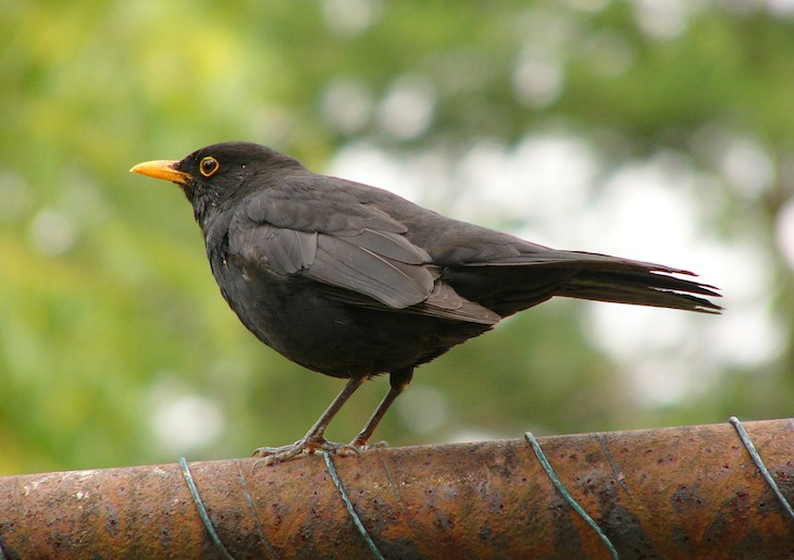 songs about animals blackbird